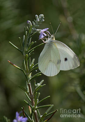 Photograph - Cabbage White by Sandra Clark