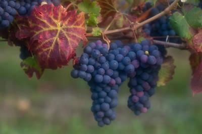Photograph - Cabernet Franc Grapes by Michael Blanchette