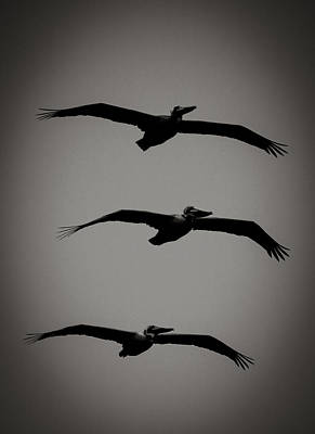 Photograph - Cabrillo Pelicans by Dave Hall