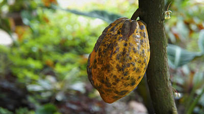 Rainforest Digital Art - Cacao Plant by Aged Pixel