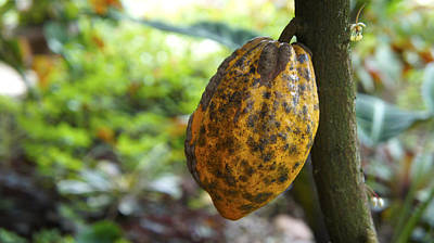 Food And Beverage Royalty-Free and Rights-Managed Images - Cacao Plant by Aged Pixel