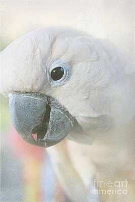 Photograph - Cacatua Moluccensis - Moluccan Cockatoo by Sharon Mau