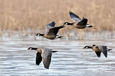 Cackling Geese Flying Print by Anthony Mercieca