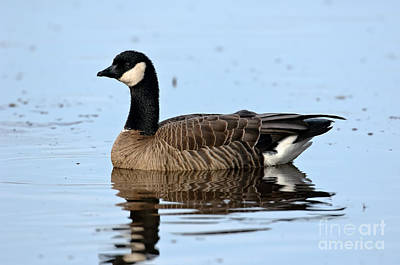 Us Wildllife Photograph - Cackling Goose In Water by Anthony Mercieca