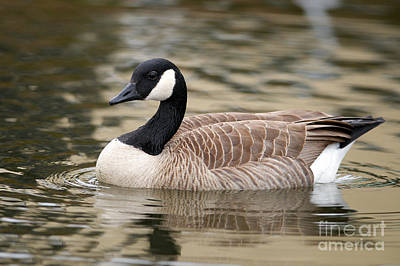 Cackling Goose Art Print by Sharon Talson