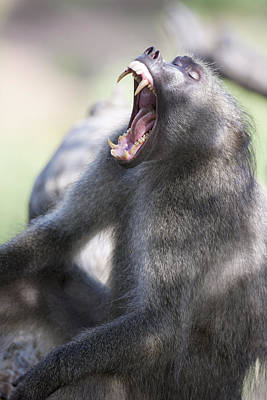 Cackma Baboon Yawning Art Print by Sean McSweeney