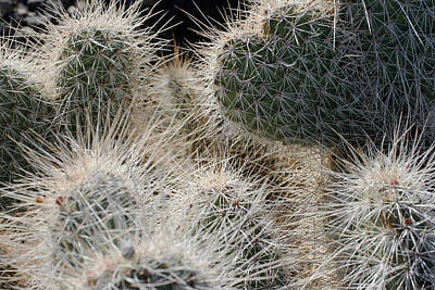Photograph - Cactus 11 by Cheryl Boyer