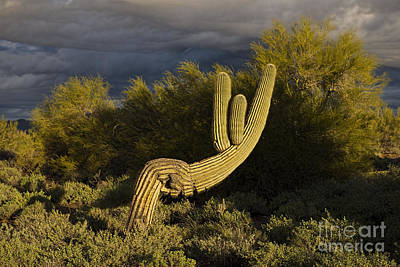 Photograph - Cactus At Sunrise by David Arment