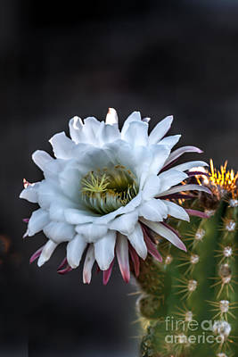 Cactus Beauty Print by Robert Bales