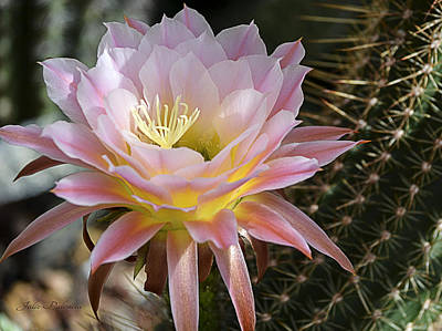 Photograph - Cactus Bloom In Pink by Julie Palencia