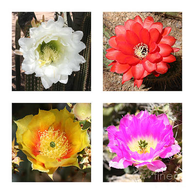 Photograph - Cactus Blooms Collage by Carol Groenen