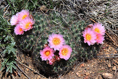 Photograph - Cactus Blooms by Shane Bechler