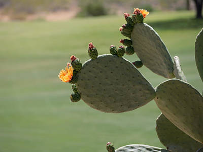 Photograph - Cactus Blooms In Spring by Marianne Campolongo
