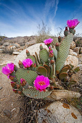 Beaver Wall Art - Photograph - Cactus Blooms by Peter Tellone