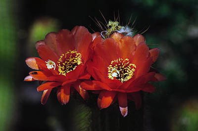 Photograph - Cactus Blooms by Tam Ryan