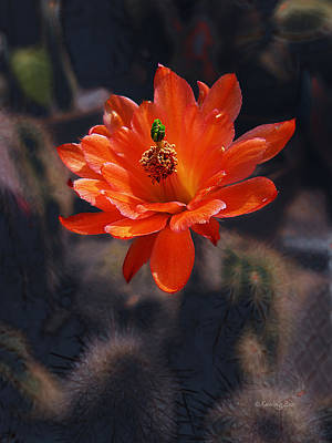 Photograph - Cactus Blossom 1 by Xueling Zou