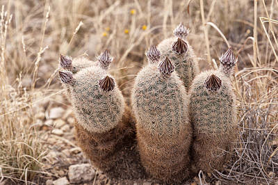 Photograph - Cactus Buds by Melany Sarafis