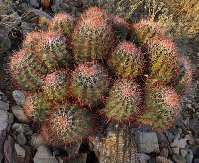 Cactus Burst Art Print