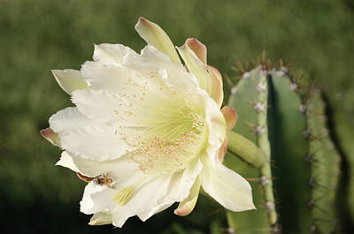 Photograph - Cactus Flower And Bee by Bradford Martin