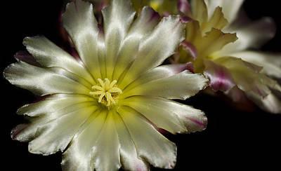 Photograph - Cactus Flower by Henrik Petersen