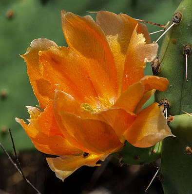Cactus Flower In Orange Art Print by Toma Caul