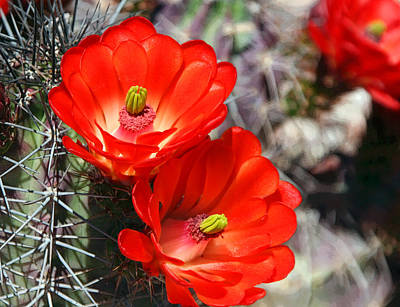 Photograph - Cactus Flower by Joe Kozlowski