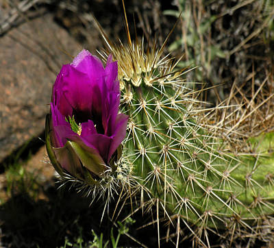 Photograph - Cactus Flower by Robert Lozen