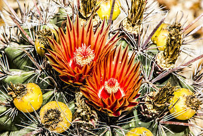 Art Print featuring the digital art Cactus Flowers And Fruit by Photographic Art by Russel Ray Photos