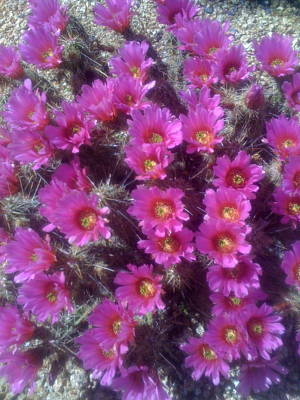 Photograph - Cactus Flowers In The Desert by Angela Bushman