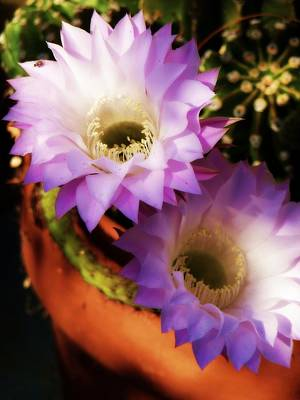 Photograph - Cactus Flowers Two by Jodie Marie Anne Richardson Traugott          aka jm-ART