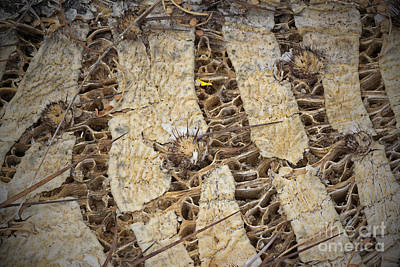 Photograph - Cactus Innards 2 by Diane Enright
