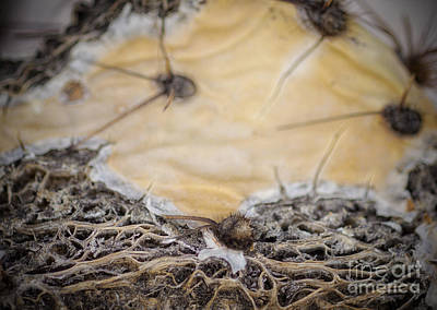 Photograph - Cactus Innards 5 by Diane Enright