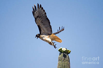 Red Tail Hawk Photograph - Cactus Jumping by Bob Hislop