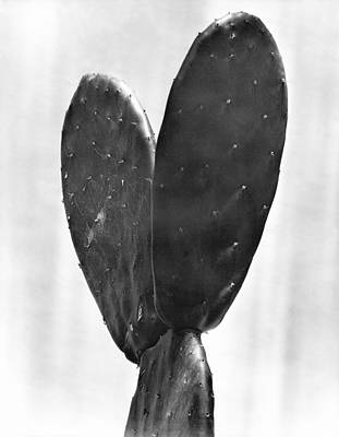 Mexico City Photograph - Cactus, Mexico City, 1925 by Tina Modotti