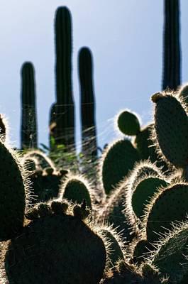 Spiderweb Photograph - Cactus Plants by Dr. John Brackenbury/science Photo Library