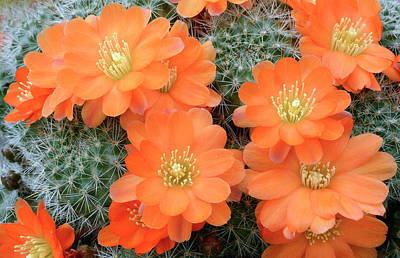 Cactus Rebutia Tamboensis Art Print by Nigel Downer/science Photo Library