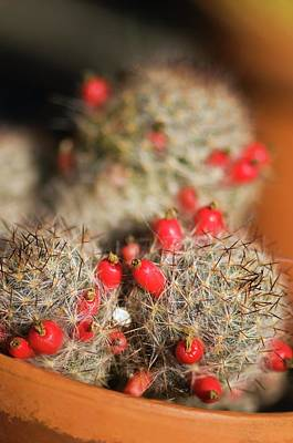 Drought Wall Art - Photograph - Cactus With Fruits by Maria Mosolova/science Photo Library