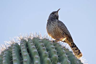 Cactus Wren Art Print by David Rizzo
