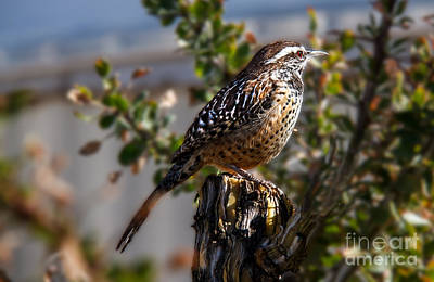 Photograph - Cactus Wren by Robert Bales