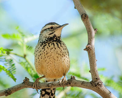 Photograph - Cactus Wren by Tam Ryan
