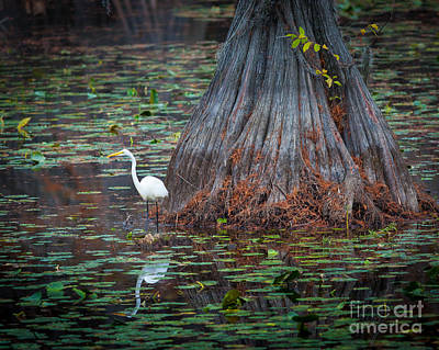 Lilies Royalty-Free and Rights-Managed Images - Caddo Lake Egret by Inge Johnsson