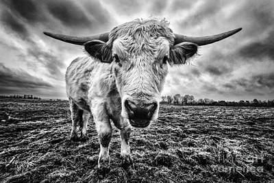 Cadzow White Cow Female Art Print by John Farnan