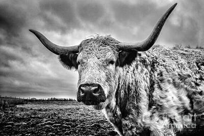 Cattle Photograph - Cadzow White Cow by John Farnan