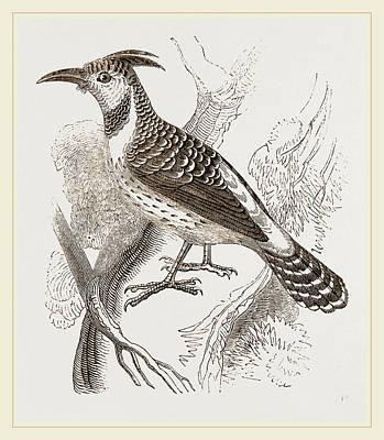 Woodpecker Drawing - Caffre Woodpecker by Litz Collection