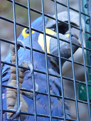 Photograph - Caged - Blue Parrot by Menega Sabidussi