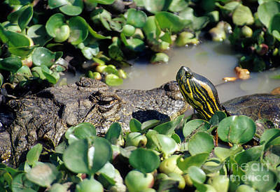 Slider Photograph - Caiman And Turtle by William H. Mullins