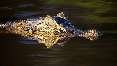 Photograph - Caiman Reflection by David Beebe