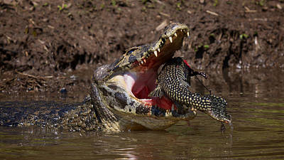 Photograph - Caiman Vs Catfish 1 by David Beebe