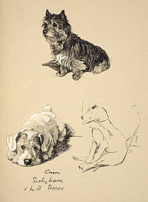 Canines Drawing - Cairn, Sealyham And Bull Terrier, 1930 by Cecil Charles Windsor Aldin