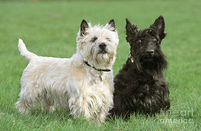 Cairn Terrier And Scottish Terrier Art Print by Johan De Meester
